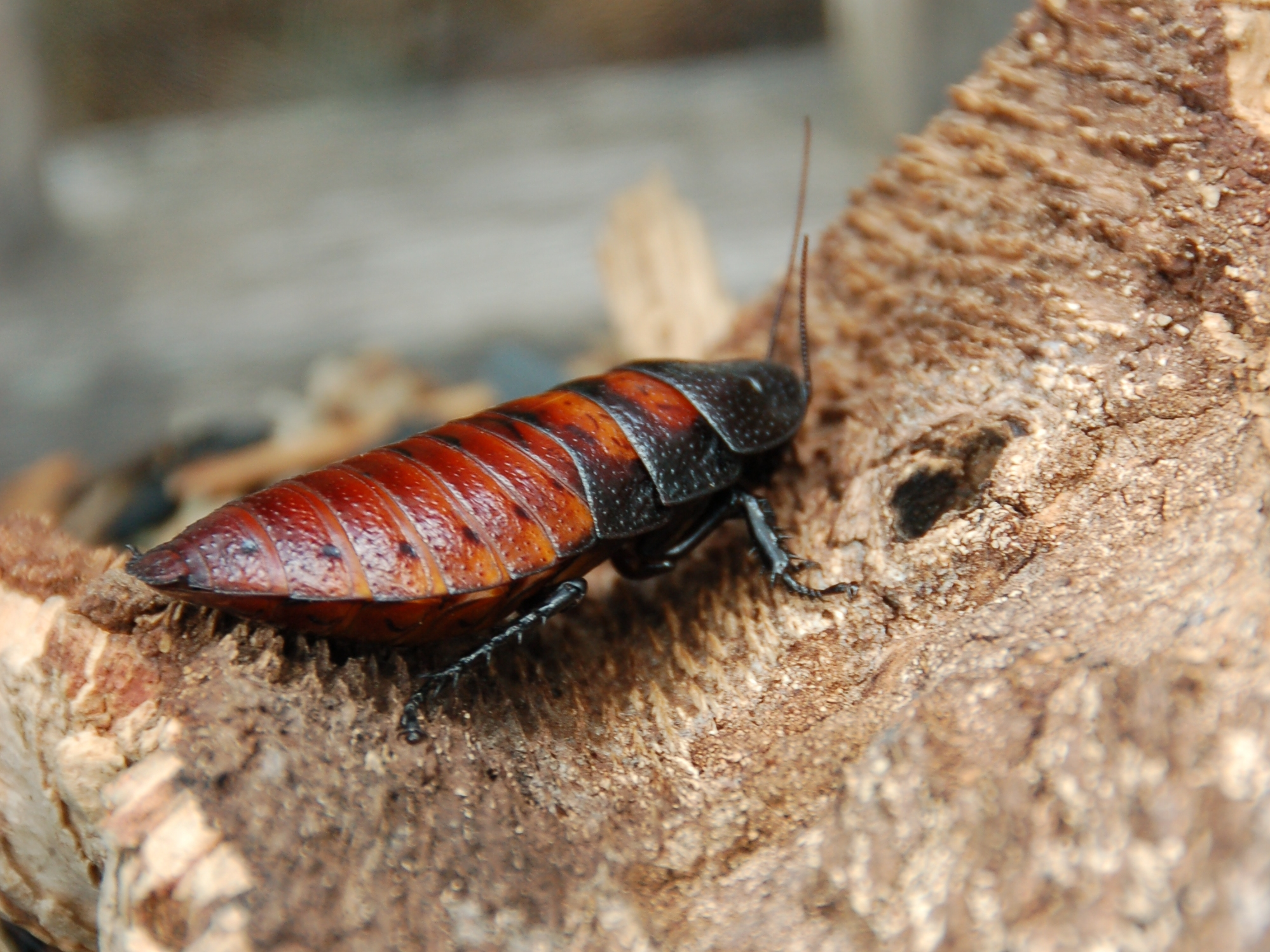 Female_Madagascar_hissing_cockroach.JPG