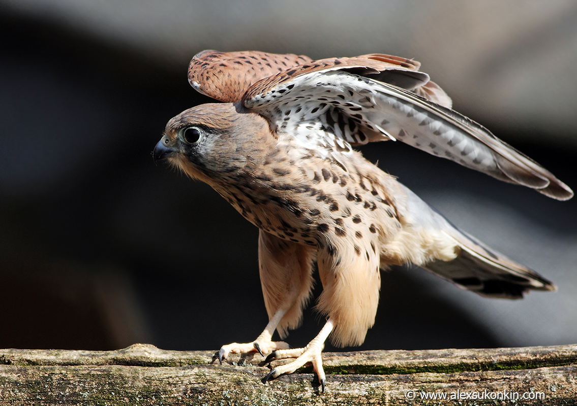 small-hawk-2.jpg