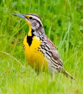 bird-westernmeadowlark-03.jpg