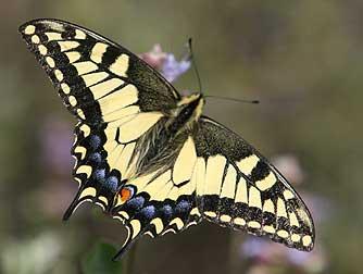 oregon-swallowtail5.jpg