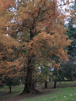 dawn redwood shape.jpg