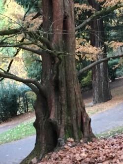 dawn redwood trunk .jpg