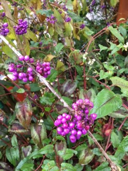 Purple berry seeds .jpg