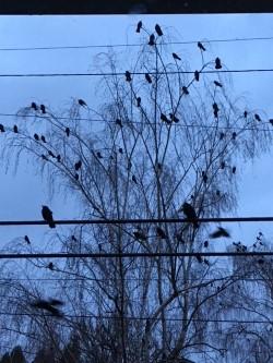 crows 2.jpg