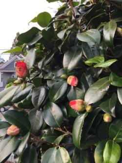 camellia .jpg