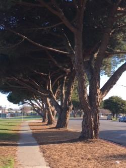 italian pines .jpg