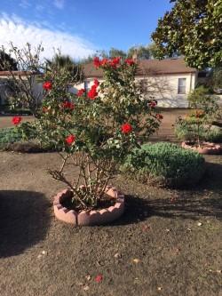 Roses in January.jpg