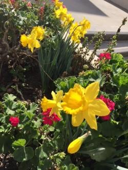 daffodils.jpg.jpg