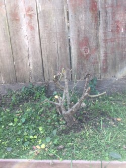 pruned rose bush.jpg.jpg