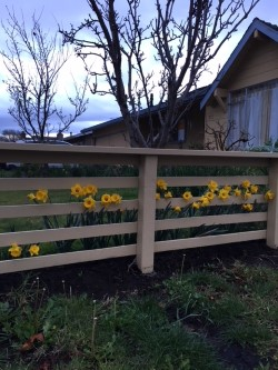 daffodils and fence.jpg