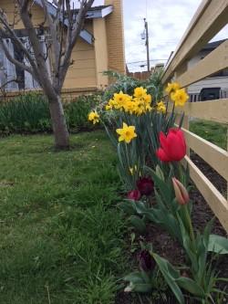 open tulip.jpg